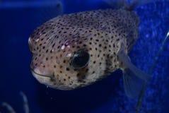 fiskpuffer Arkivfoto