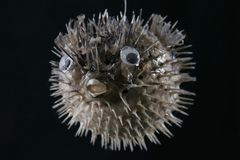 fiskpuffer Arkivfoton