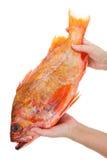 fiskred Fotografering för Bildbyråer