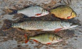 fisksötvatten Royaltyfri Foto