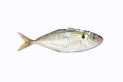 fisksardine Royaltyfria Bilder