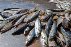 Fisksardiner Arkivfoto