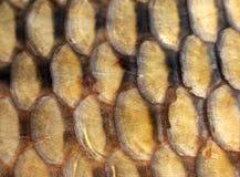 fiskscales Royaltyfri Fotografi
