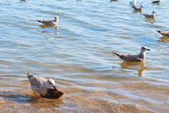 fiskseagull Fotografering för Bildbyråer