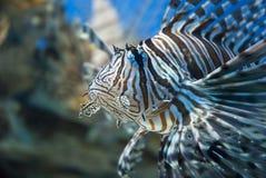 fisksebra Royaltyfri Fotografi