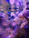 Fisksimning bland korallutlöpare Arkivfoton