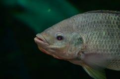 Fisksimningslut upp Royaltyfri Fotografi