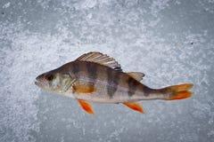 Fisksittpinne som fångas på vinterredskapet på is arkivfoto
