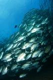 fiskskola royaltyfri fotografi