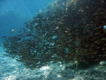 fiskskola Arkivbilder