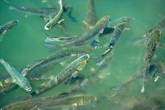 fiskskola Royaltyfri Bild