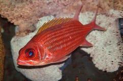 fisksoldat Royaltyfria Bilder