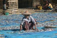 fisksortering Royaltyfri Fotografi
