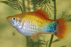 fiskspelrumsolnedgång arkivfoto