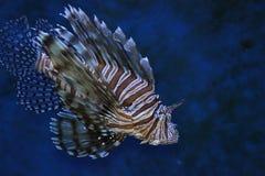 fisktiger Royaltyfri Fotografi