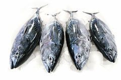 fisktonfisk Royaltyfri Foto