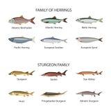 Fiskvektoruppsättning i plan stildesign Sillar och störfiskar Havet havet, floden fiskar symbolssamlingen Arkivbild
