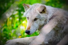 Fissare del lupo Fotografie Stock Libere da Diritti