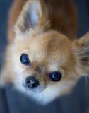 Fissare della chihuahua Fotografie Stock