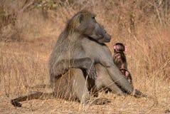 Fissare della famiglia del babbuino Fotografia Stock Libera da Diritti