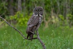 Fissare di Grey Owl Fotografia Stock