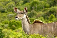 Fissare femminile della giovane antilope femminile di kudu Fotografia Stock