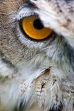 Fissare vicino dell'occhio del gufo nella macchina fotografica Fotografia Stock