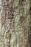 The fissured bark of a  tree Royalty Free Stock Photo