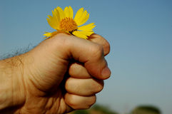 Fist. Mans fist with yellow chrysanthemum Royalty Free Stock Image