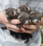 A Fist Full of Ferrets Royalty Free Stock Photography