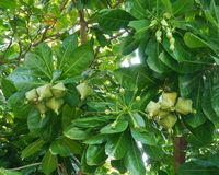 About fist size immature fruit in a Putat tree Stock Photos