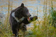 Fist tasting of fish meat - do I actually like it. Fist tasting of fish meat, Little bear baby plyaing with fish, bear-watching in wild nature of Alaska stock image