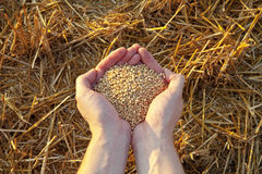 Fistful of grain stock photography