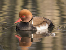 Fistione turco (netta rufina). Male specimen of turkish Pochard swimming in a pond Royalty Free Stock Images