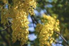 Fistula& x28 кассии; золотое tree& x29 ливня; , главным образом зацветающ в праздниках Первого Мая лета It& x27; s также национал стоковые изображения