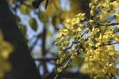 Fistula& x28 кассии; золотое tree& x29 ливня; , главным образом зацветающ в праздниках Первого Мая лета It& x27; s также национал стоковые фото
