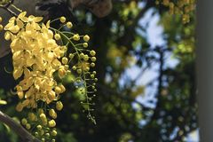 Fistula& x28 кассии; золотое tree& x29 ливня; , главным образом зацветающ в праздниках Первого Мая лета It& x27; s также национал стоковое изображение rf