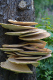 Fistulina hepactica, bracket fungus on tree trunk Royalty Free Stock Images