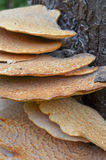 Fistulina hepactica, bracket fungus on tree trunk Stock Photos