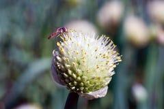 Fistulosum L do Allium (cebola) fotos de stock royalty free