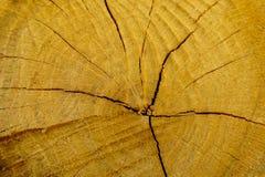 Fiszorek dębowy drzewo powalać - sekcję bagażnik z rocznymi pierścionkami obraz stock