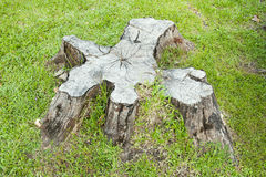 Fiszorek drzewo Fotografia Stock