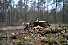 Fiszorek ostatnio ciący drzewo blisko drogi gruntowej na Heriker górze fotografia royalty free