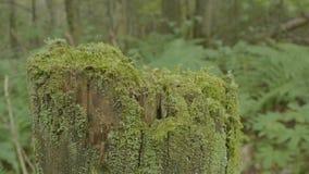 Fiszorek w lasowym Starym drzewnym fiszorku zakrywającym z mech Fiszorka mech świerkowej sosny iglastego drzewa lasu parka zielon Obraz Royalty Free