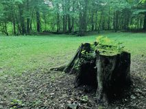 Fiszorek w lesie Obrazy Royalty Free