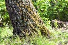 Fiszorek z mech w jesień lasowym Starym drzewnym fiszorku zakrywającym z mo Fotografia Stock