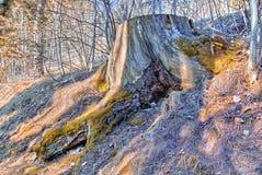 Fiszorek zakrywający z mech wśród nagich korzeni, spadać liści i blad, Zdjęcia Royalty Free