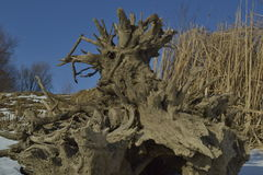 Fiszorka drzewa korzenie Zdjęcie Stock