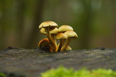 fiszorka toadstoolson drzewo Zdjęcie Royalty Free