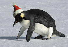 Fit for Christmas. Penguin getting fit for Christmas Stock Photography